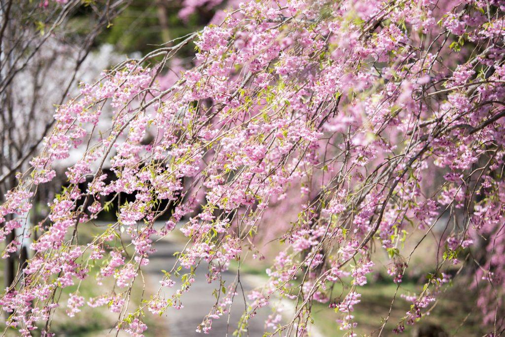 半田山 桜