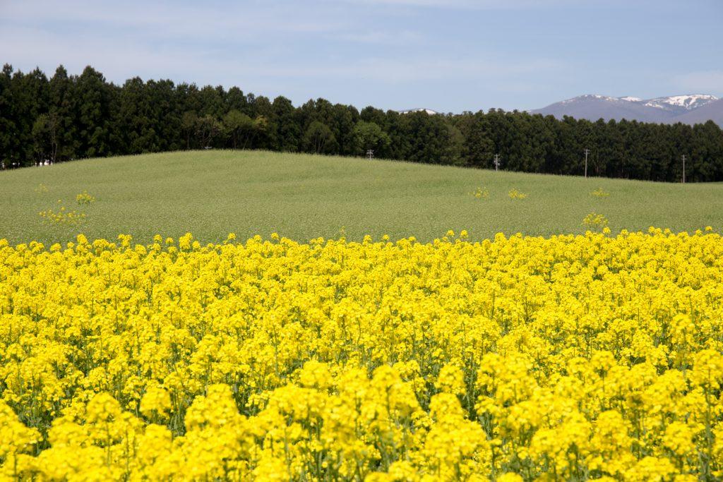 小岩井菜の花畑