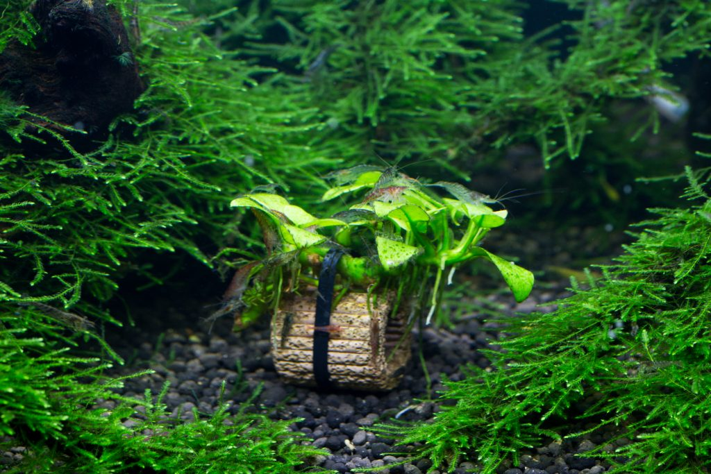 ミナミヌマエビ水槽苔とり