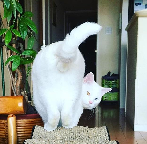 七々緒ポーズをする猫