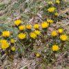 2017春近し蕃山の麓からイワウチワ群生地までを散策!福寿草は満開
