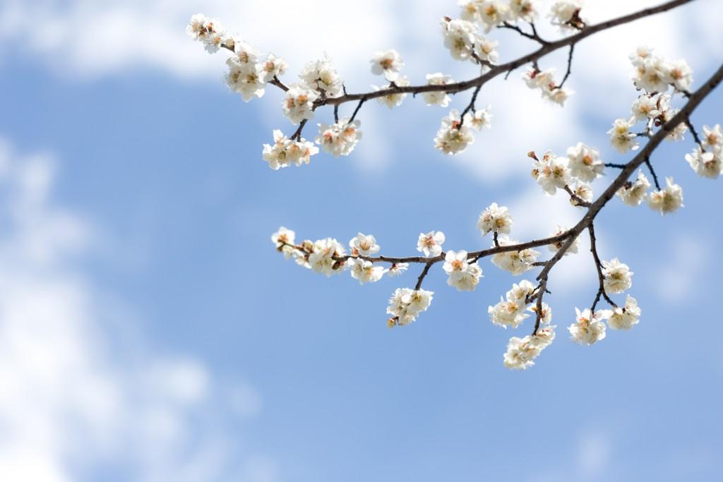 駐車場には梅の花が満開、梅の香りが心を癒してくれる、青い空とのコラボの1枚