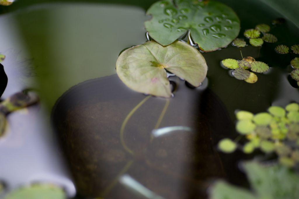屋外メダカ飼育 睡蓮鉢