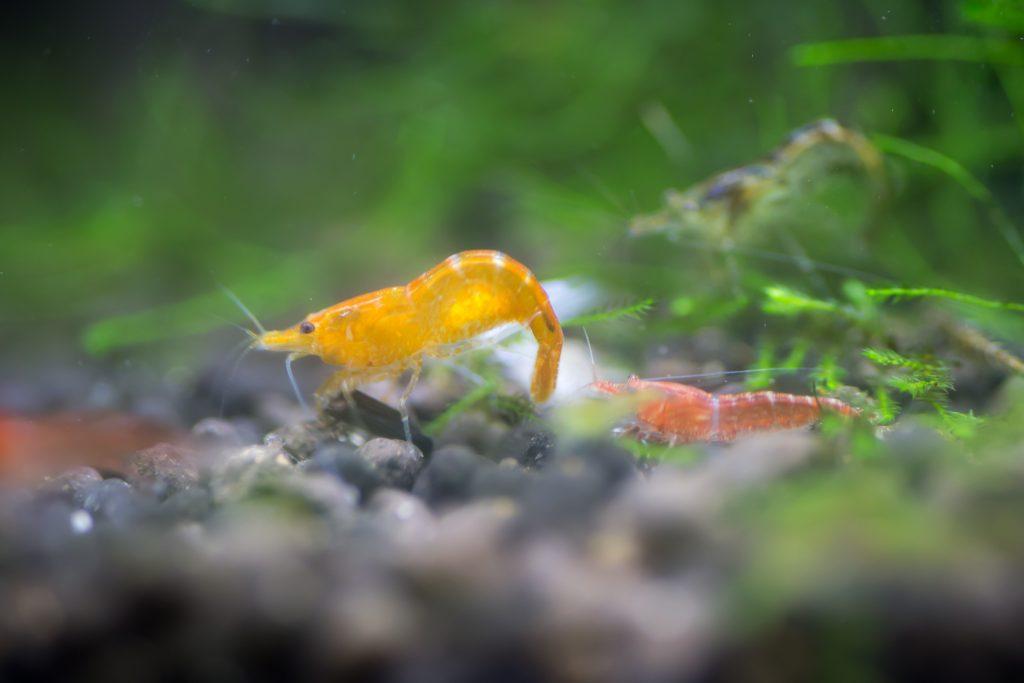 オレンジチェリーシュリンプ