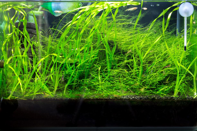 ミナミヌマエビ 水草